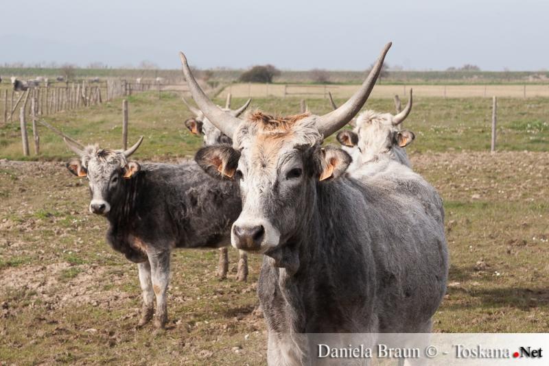 The Maremma cow in the Nature reserve Parco Naturale della Maremma