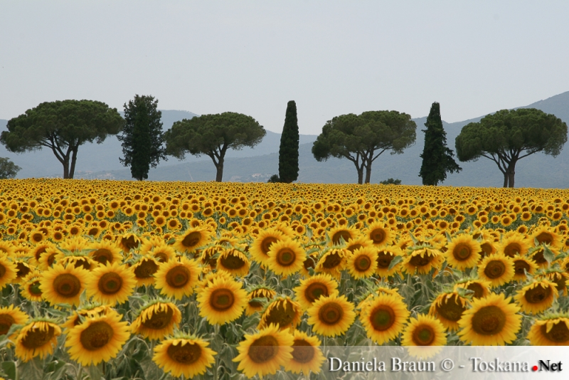 Sunflowers near Castiglione della Pescaia Maremma Tuscany
