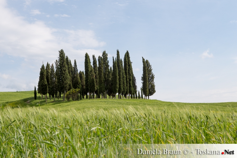 Cypresses near San Quirico d'Orcia Tuscany