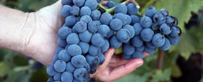 Raccolta del Vino in Toscana