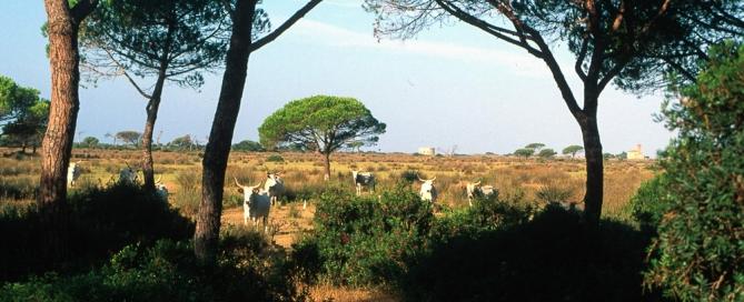 La Vacca Maremmana nel Parco Naturale della Maremma - Alberese Grosseto