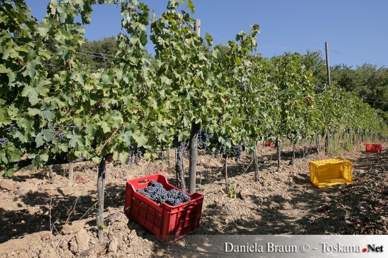 Weinlese im Spätsommer Toskana