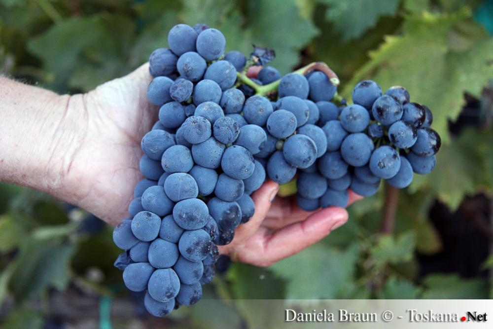 Weinlese in der Toskana