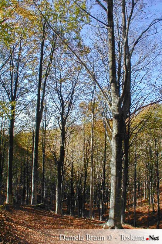 Dichte Wälder auf dem Monte Amiata