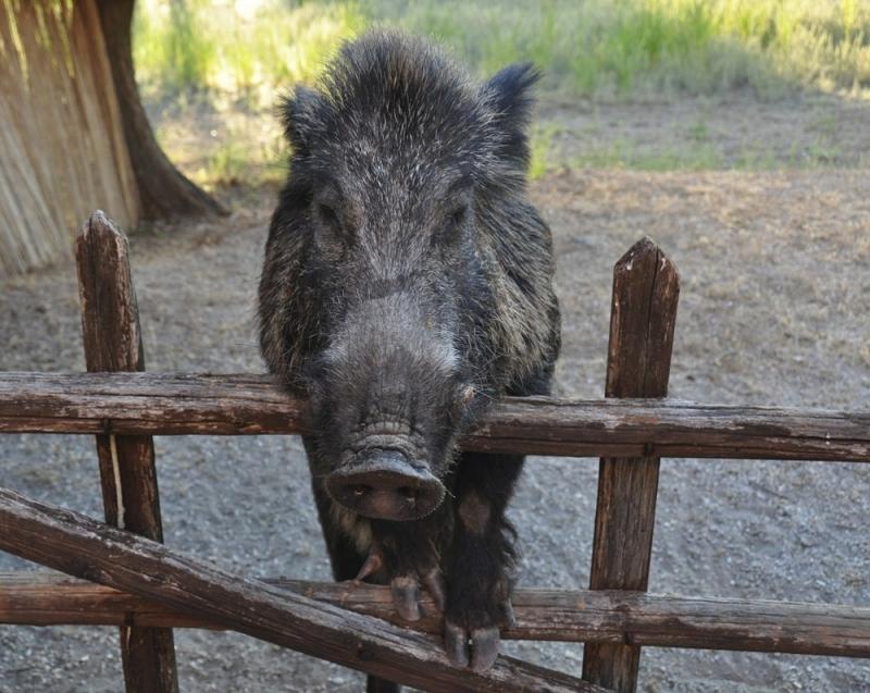 Das Wildschwein, einer der Hauptbewohner des Naturparks